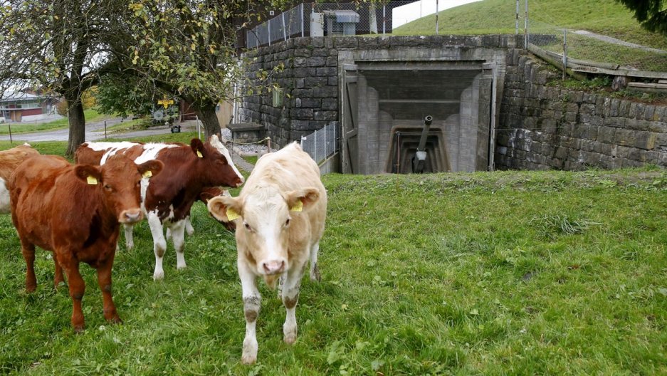Cows stand in a meadow in front of a 10.5cm gun at the former artillery fort of the Swiss Army in the town of Faulensee.