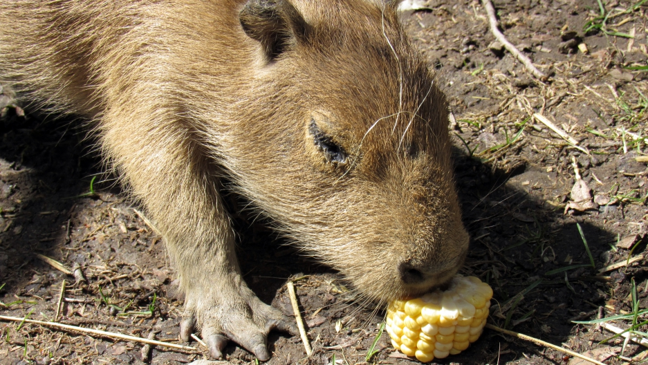 Toronto's High Park Zoo has some new residents. The zoo's pair of capybaras had babies. Here's one of the new family members.