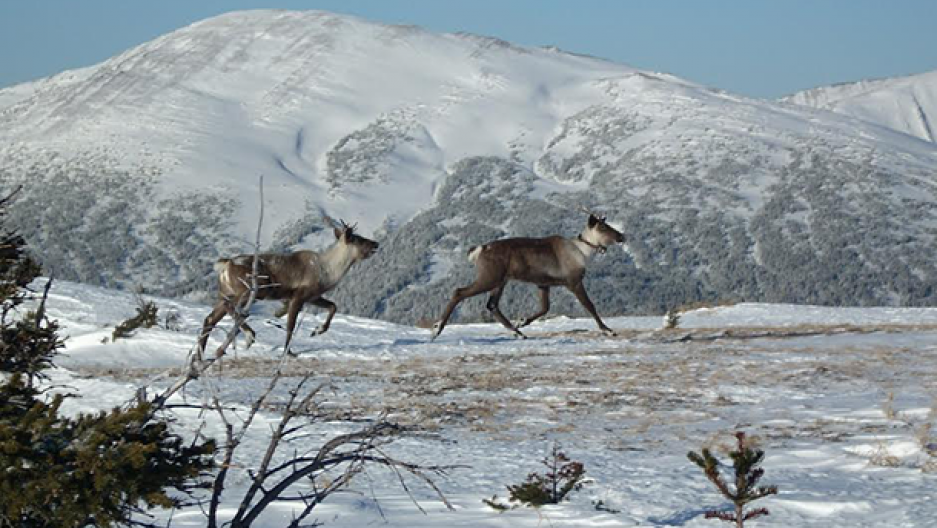 Caribou on a winter landscape in British Columbia