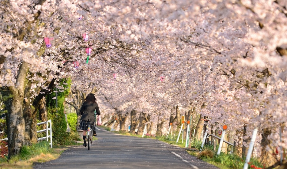 Cherry Blossoms Are Helping This Japanese Town Shake Off Tsunami Sorrow