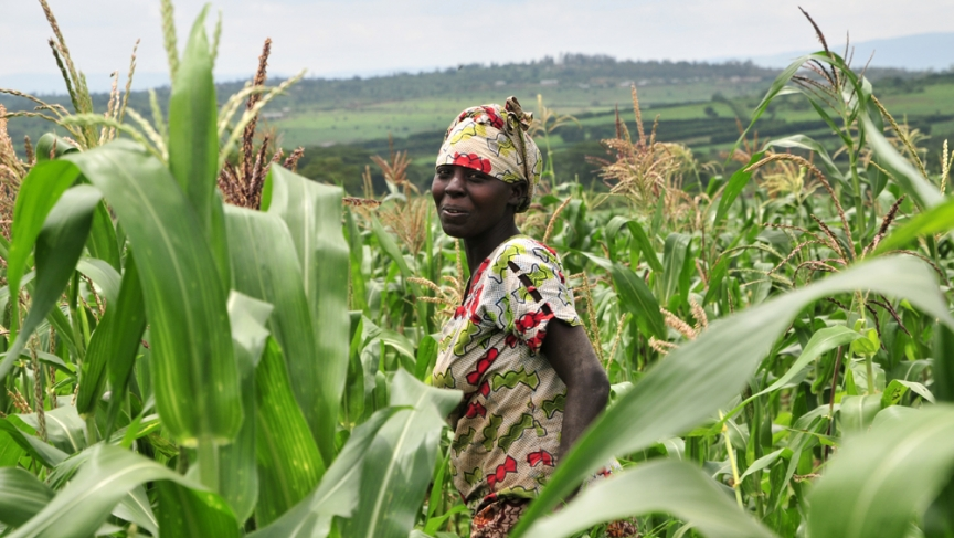 As the climate shifts, growing corn, a staple crop in sub-Saharan Africa, could become increasingly difficult.