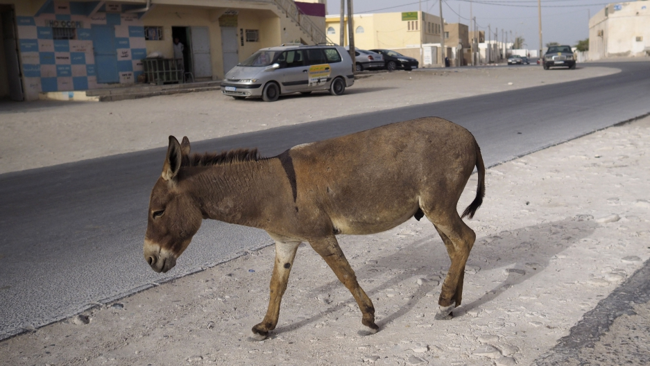 A donkey walks on a street in downtown Nouadhibou, Mauritania.