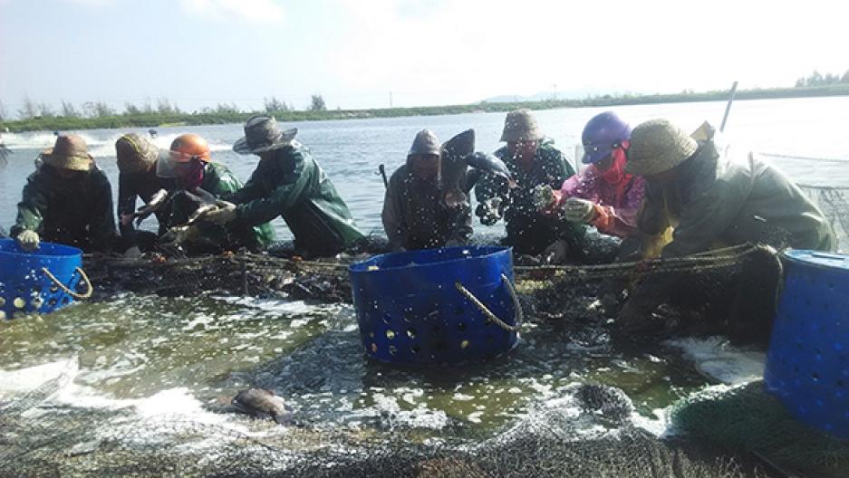Harvesting tilapia