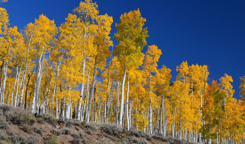 A photo of Pando in the fall at Fish Lake National Forest.