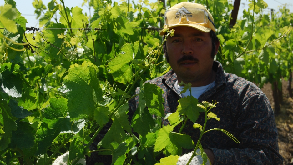 A farm worker in California's Central Valley picks fruit by hand. An estimated 98 percent of California farm workers are foreign born, the majority of them unauthorized.
