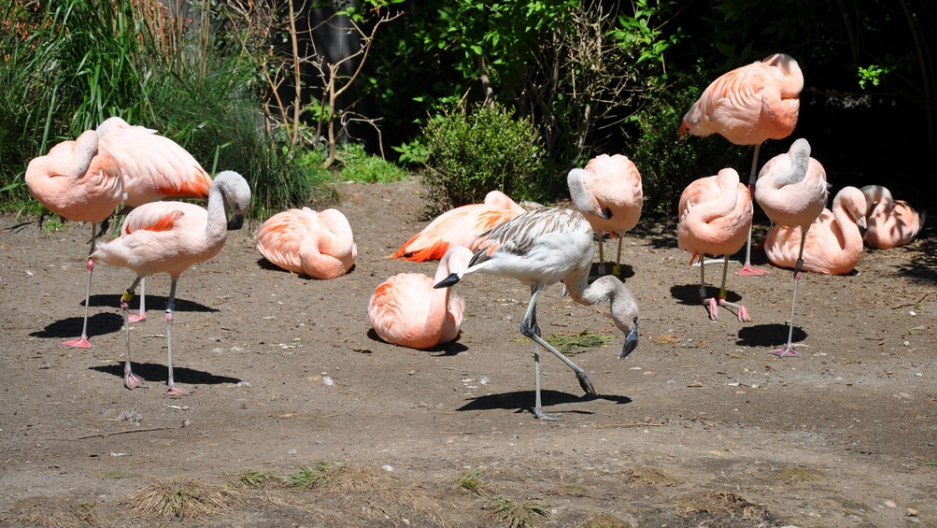 Flamingos have enjoyed a resurgence in Florida over the last 50 years. Notice that the young flamingo in the middle is gray and not the iconic pink. Flamingos gain their pinkish color over time through their diet — mainly shrimp.