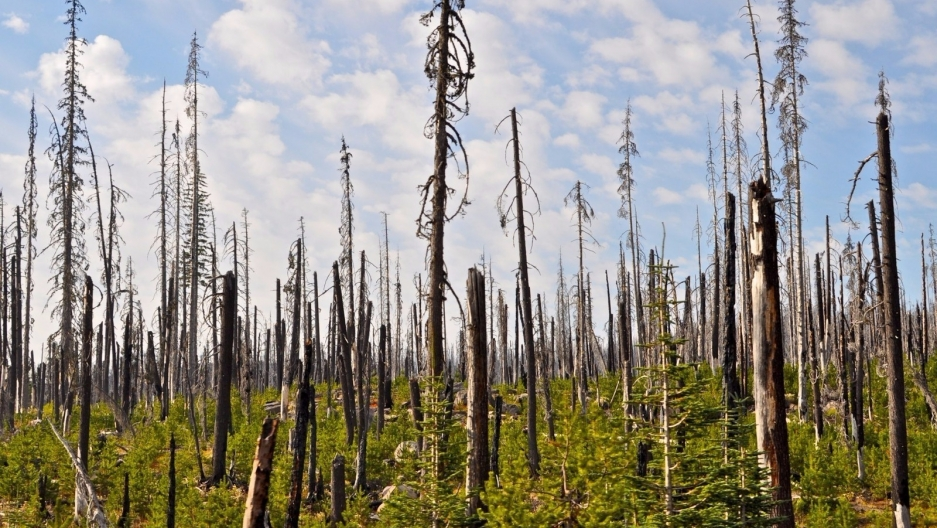 Massive forest fires can often result in a shifting of ecosystems, as regeneration becomes a more difficult task, especially in drier and warmer areas.