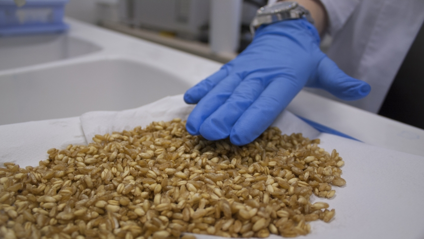 Carmen Lamacchia handles modified, gluten-friendly wheat in her laboratory in Southern Italy.
