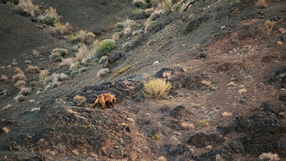 Gobi grizzly