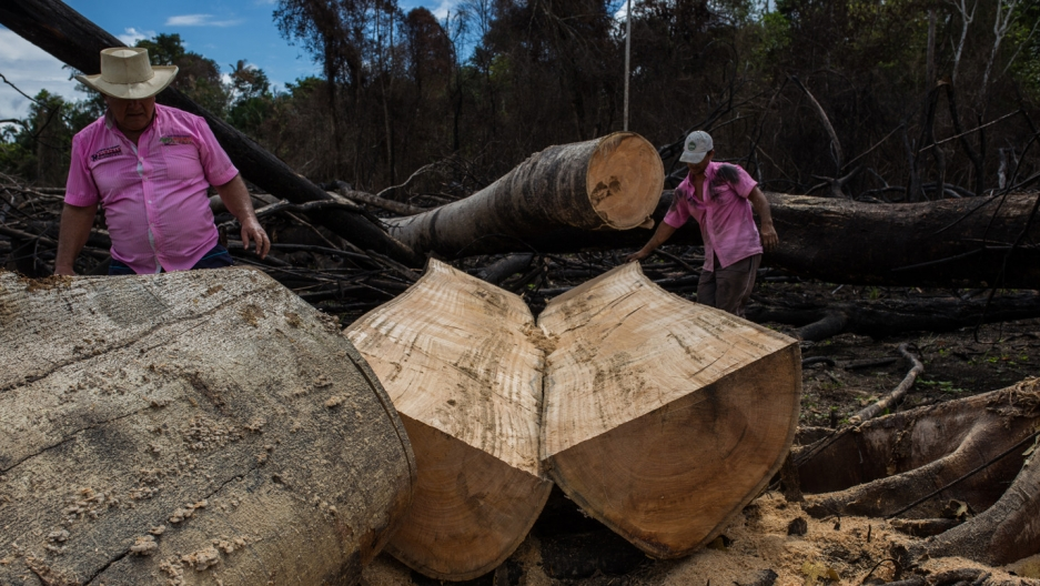 Men cutting large rainforest trees in Colombia.