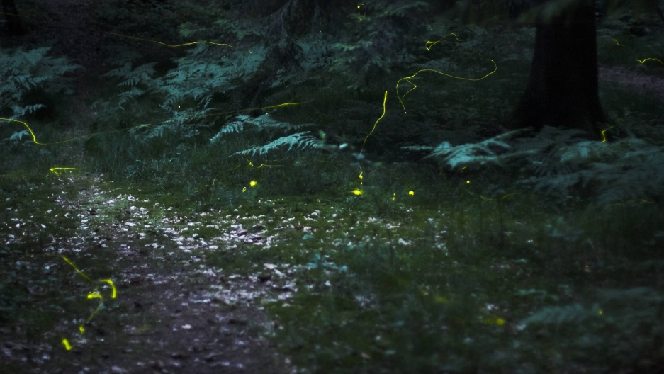 Scientists have discovered the chemical reaction behind a firefly's glow