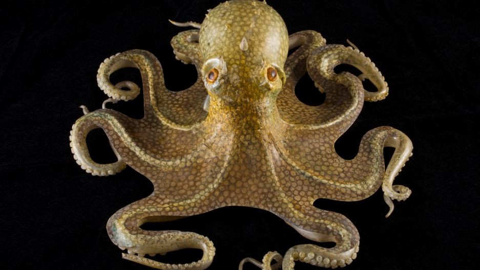 Glass common octopus