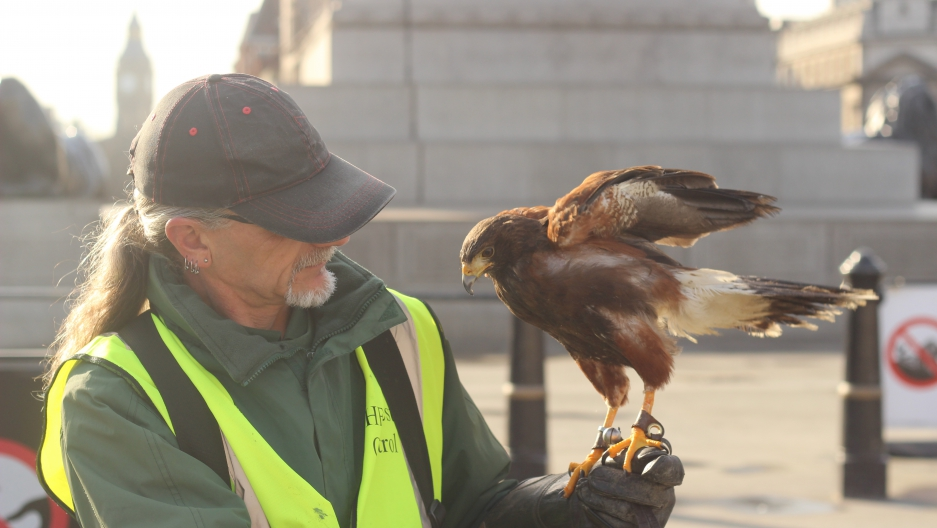London's solution to pigeon infestations is simple  Find a hawk