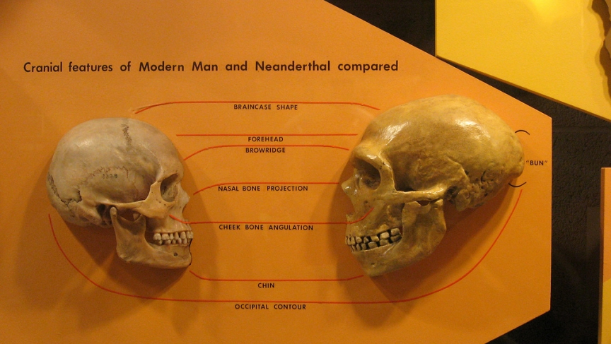 Human and Neanderthal skulls