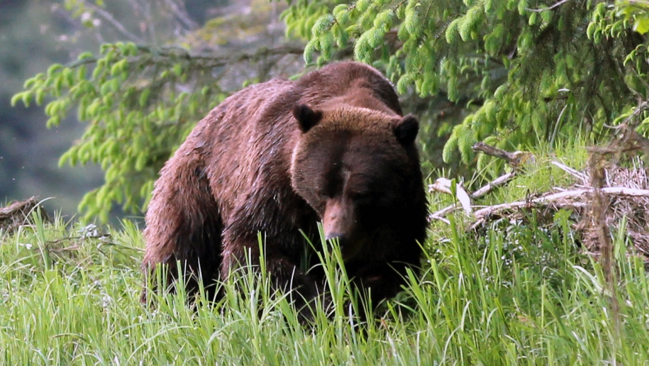 A large male grizzly bear nicknamed Bo Diddley grazing on sedge grass in the Great Bear Rainforest.