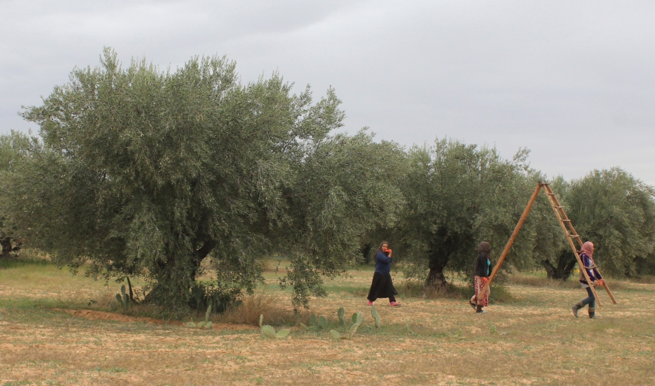 Olive harvest underway