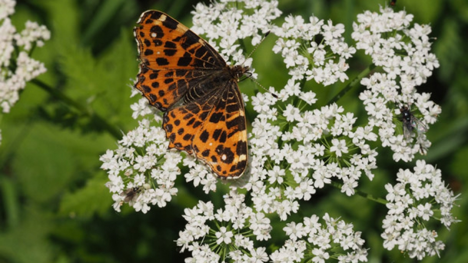 Butterly insect decline