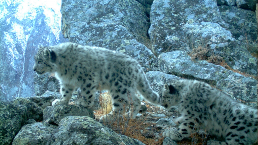 The Snow Leopard The Mascot Of The Sochi Olympics Is Near Extinction