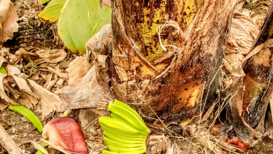 Organic banana trees are not producing bananas fit for export due to extreme weather changes in Piura, Peru.