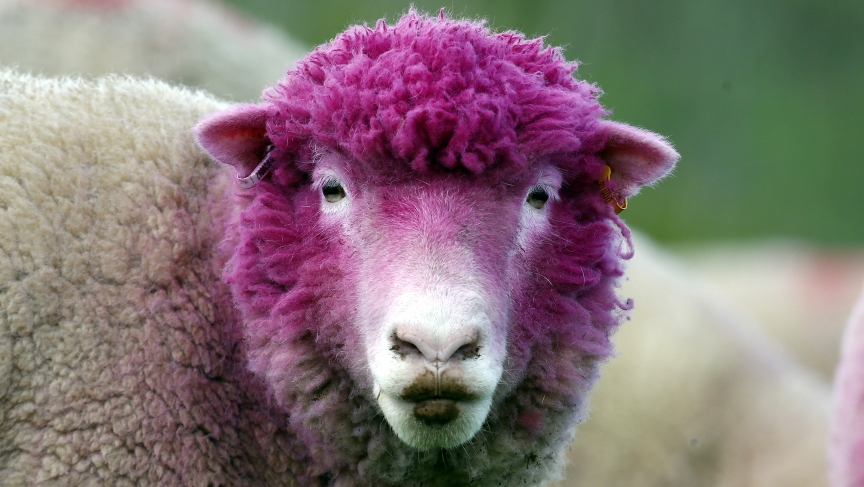 A sheep with dyed pink wool grazes in a field near the village of Balintoy. It's been painted pink to welcome the arrival of the Giro d'Italia cycle race whose race leader wears a pink jersey.
