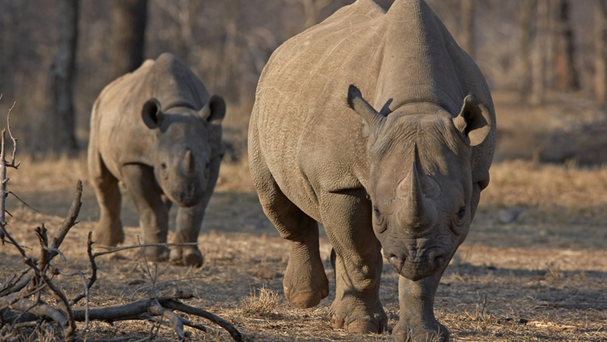 More than 1,000 rhinos were killed in South Africa last year. It's a 50% increase from the year before, proof of the escalating poaching crisis. Most of the rhinos were killed in Kruger National Park, a popular tourist destination.