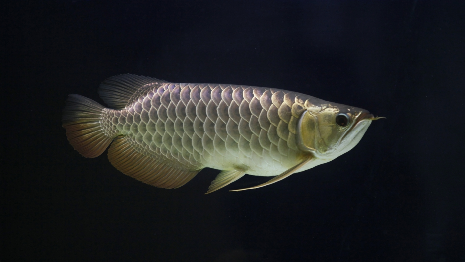"A Sapphire Golden Arowana, named ""Long Zai"" or ""Little Dragon"" in Cantonese, swims in its tank at its owner's residence in Kajang outside Kuala Lumpur March 5, 2012. Known for its agile body, sleek shiny scales and the ""whiskers"" that give it a resemblanc"