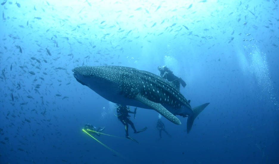 A whale shark is seen in the Galapagos Islands in this September 5, 2012 picture released to Reuters.