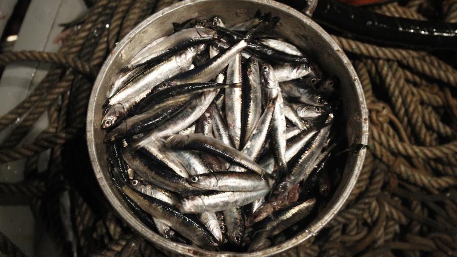 Peru anchovies