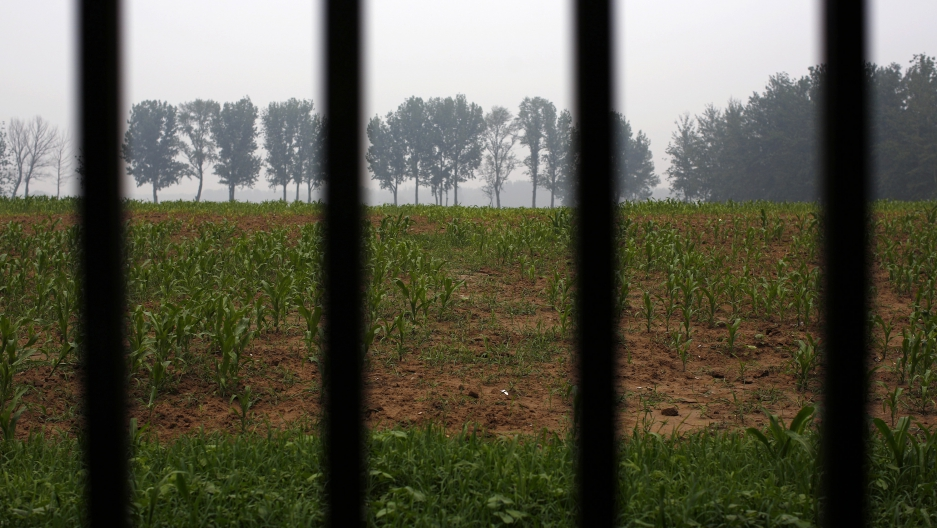 An illegal golf course which was demolished and turned into a cornfield is seen through a fence in the suburbs of Beijing, June 16, 2014.