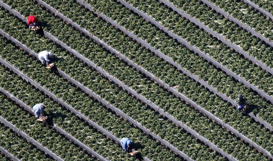 Workers pick strawberries in a field on a farm in Oxnard, California, on February 24, 2015.