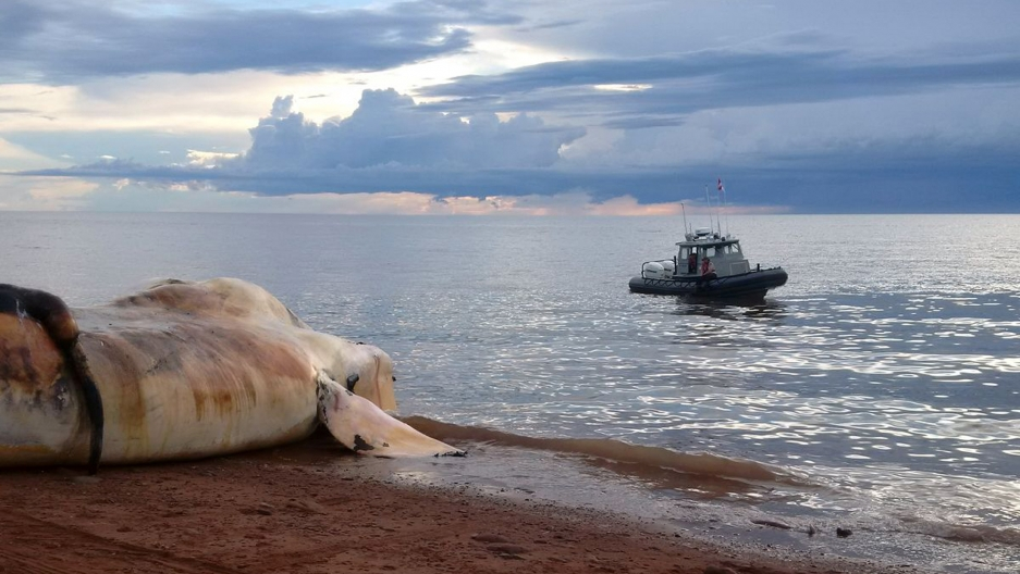 The carcass of a right whale is prepared to be towed out to sea near Norway, Prince Edward Island.