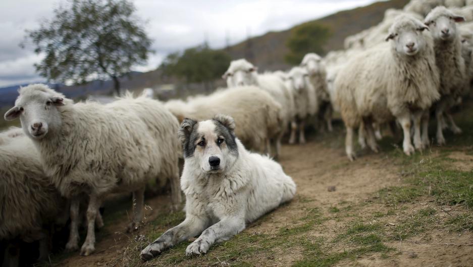 A shepherd dog tending a herd of sheep outside Tbilisi, Georgia.
