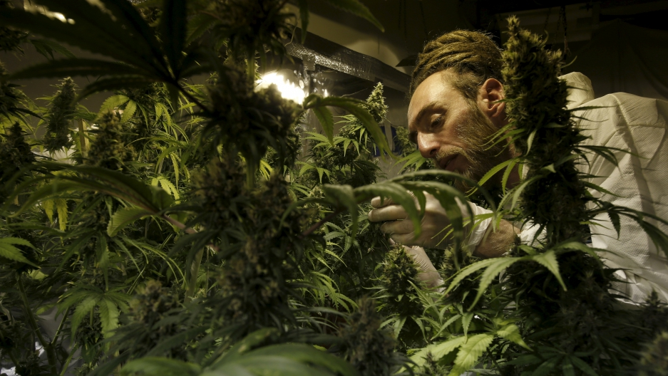 Grower Denis Contry checks out his marijuana plants at the Ganja Farms store in Bogota, Colombia, which recently legalized medical marijuana.