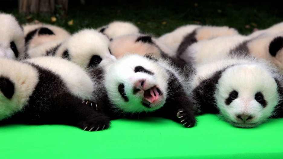 About 23 giant pandas born in 2016 are seen on a display at the Chengdu Research Base of Giant Panda Breeding in Chengdu, Sichuan province, China, September 29, 2016.