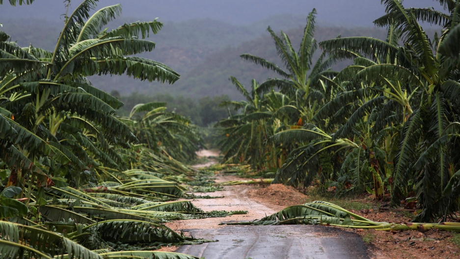 Fallen banana trees cover a roadside after the passage of Hurricane Matthew in Cuba's Guantanamo province in October, 2016.