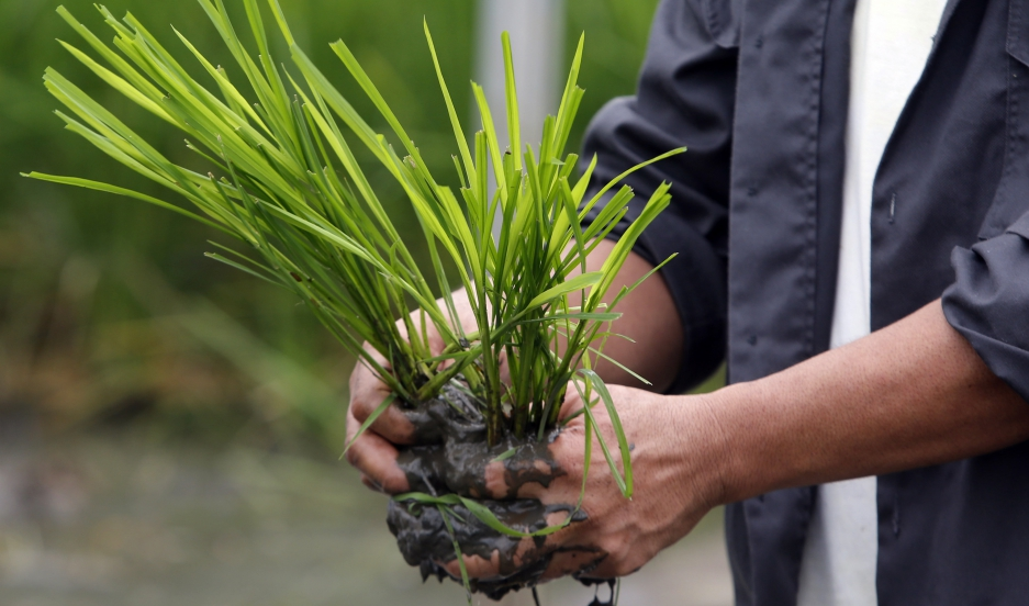 """An agriculturist prepares to plant """"Golden Rice"""" seedlings at a laboratory of the International Rice Research Institute in Los Banos, Laguna."""