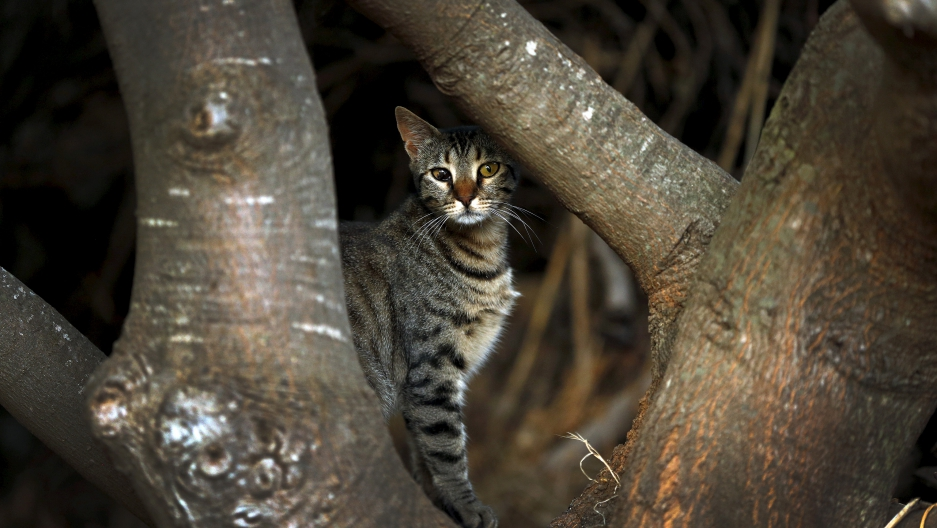 A feral cat waits for scraps near a restaurant in the village of Meyisti on the Island of Kastellorizo which is the most easterly of the islands in Greece.