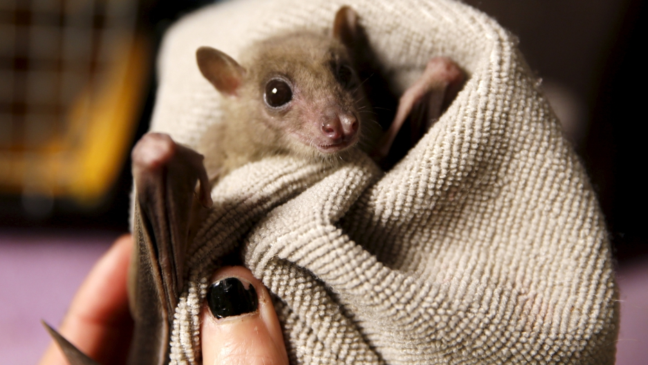 A woman holds an injured Egyptian fruit bat at her home in Tel Aviv February 21, 2016.