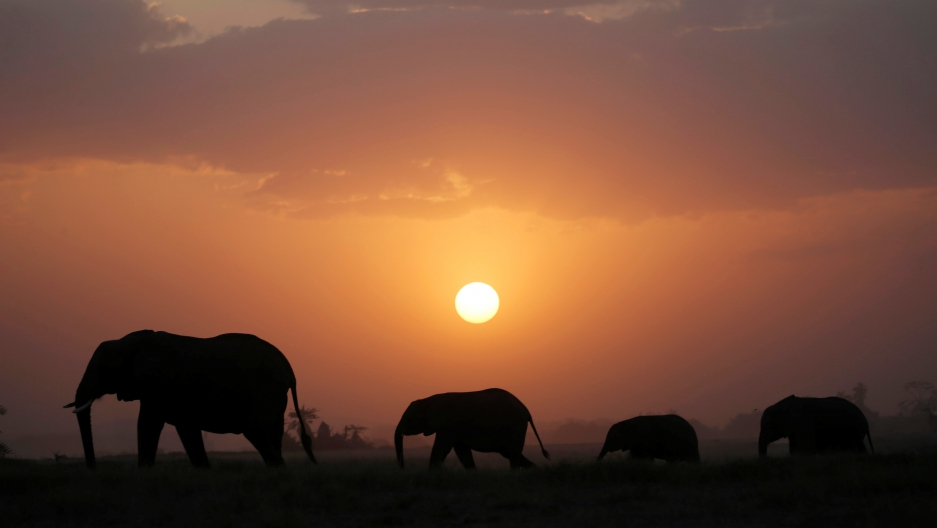 Elephant walk during sunset in Amboseli National Park, Kenya.
