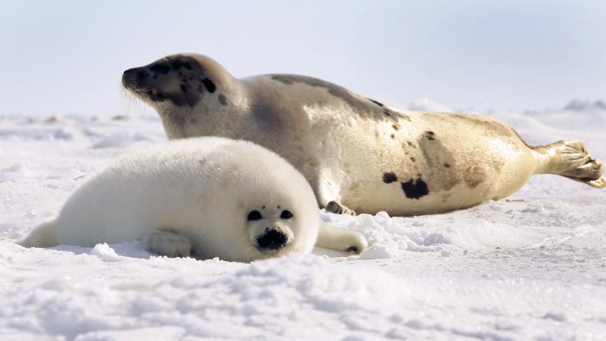 Harp seal pup lies in ...