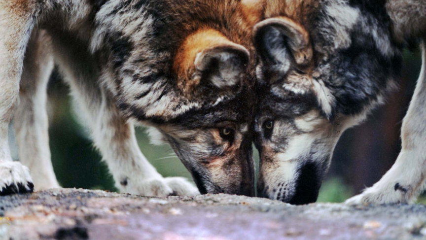 A pair of gray wolves in an undated file photo that were moved from the Red Feather Lakes, Colorado, wolf refuge, to a new refuge in northern New Jersey.