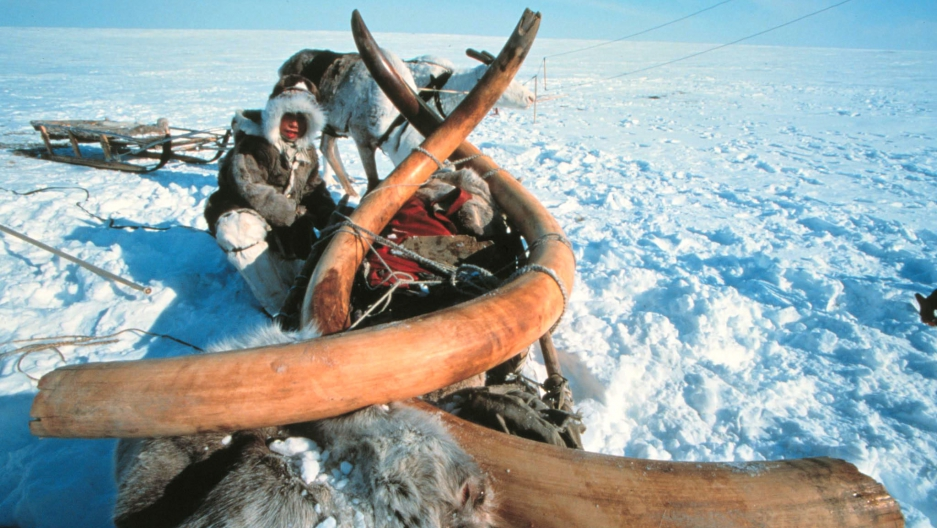 Remains of a 23,000 year old woolly mammoth with tusks, virtually intact, still frozen and now excavated from Siberian permafrost.