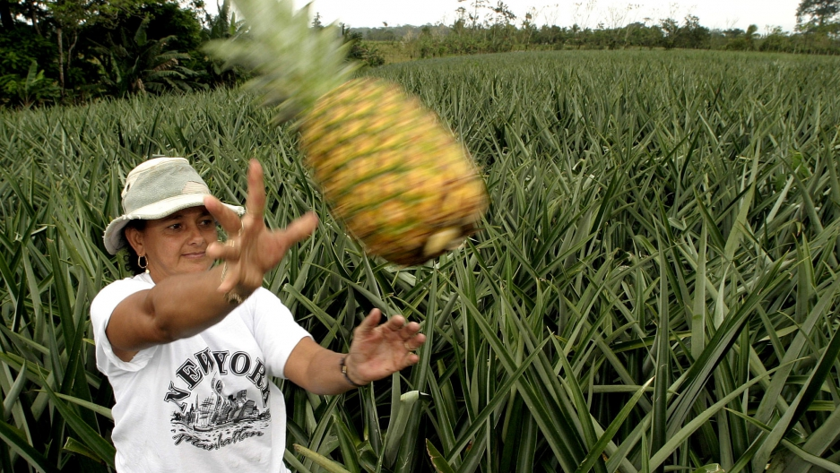 Costa Rican farmer Enith Rojas gathers pineapples for export.