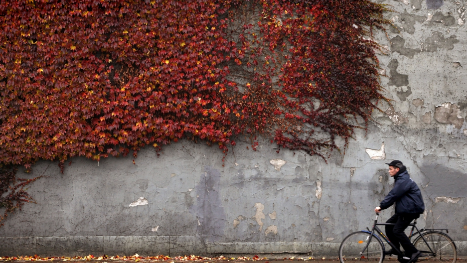 A cyclist rides past autumn-colored ivy climbing the wall of a building in downtown Copenhagen November 2, 2010.