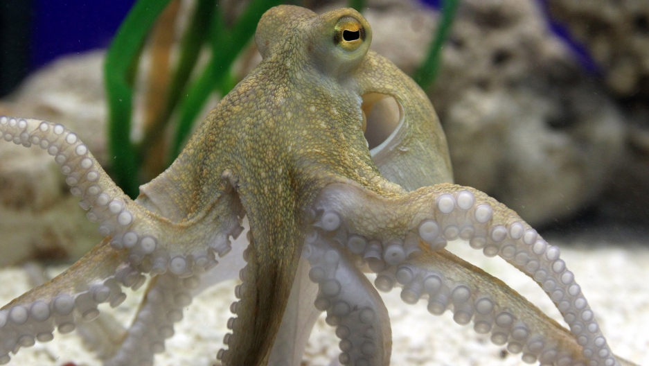 Octopus in Germany