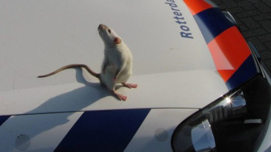 Rat on patrol