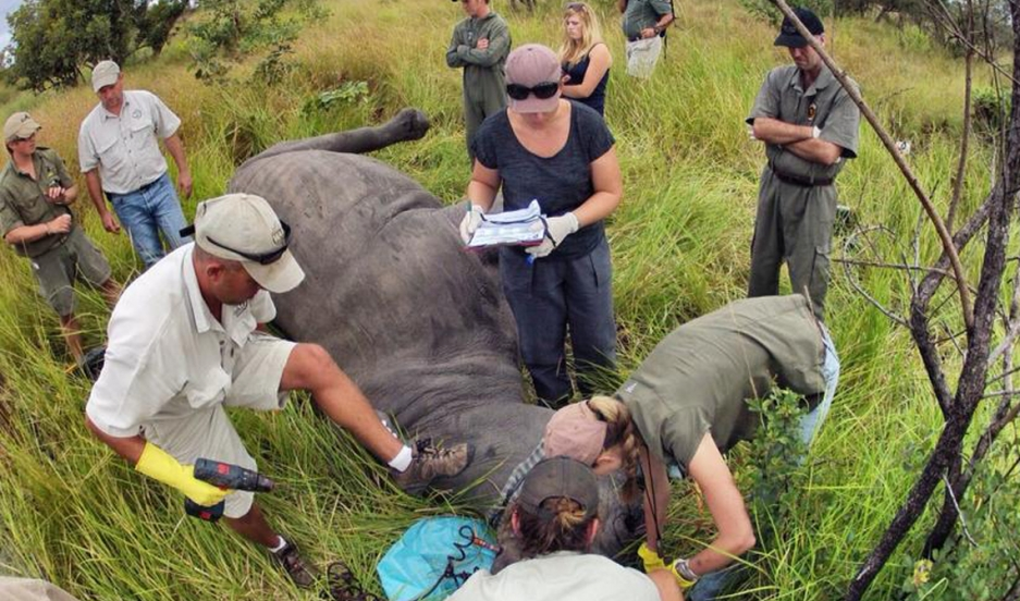 Rhino Rescue staff collect DNA samples from an animal during a procedure.