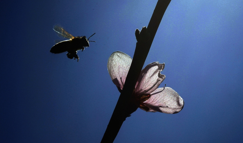 A bee approaches a peach blossom. Many of the more than 20,000 species of bee worldwide, including the well-known honey bee, are threatened by disease, habitat loss, and pesticides. President Obama's national pollinator plan would provide incentives for r