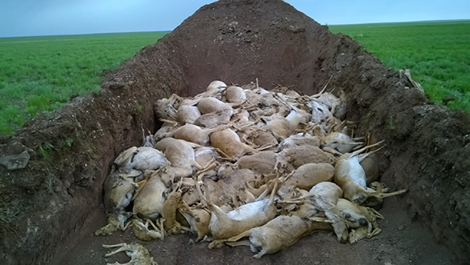 A mass grave of Saiga antelope. A mysterious disease has killed off nearly 80% of the Saiga population in Central Asia (Royal Veterinary College, Richard Kock)