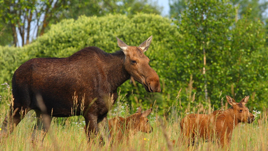 Moose in the Exclusion Zone